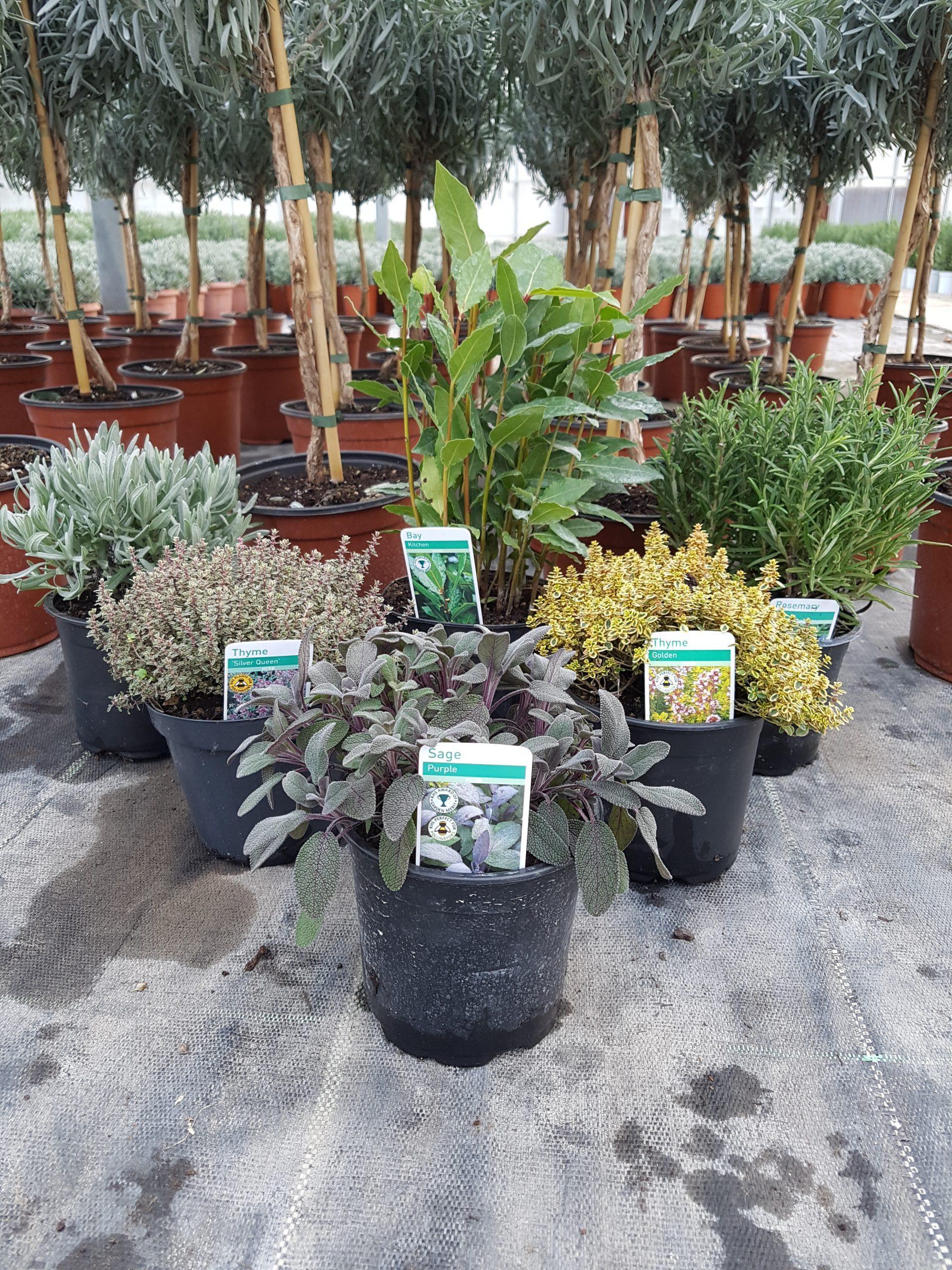 Mixed herb pots at Amethyst