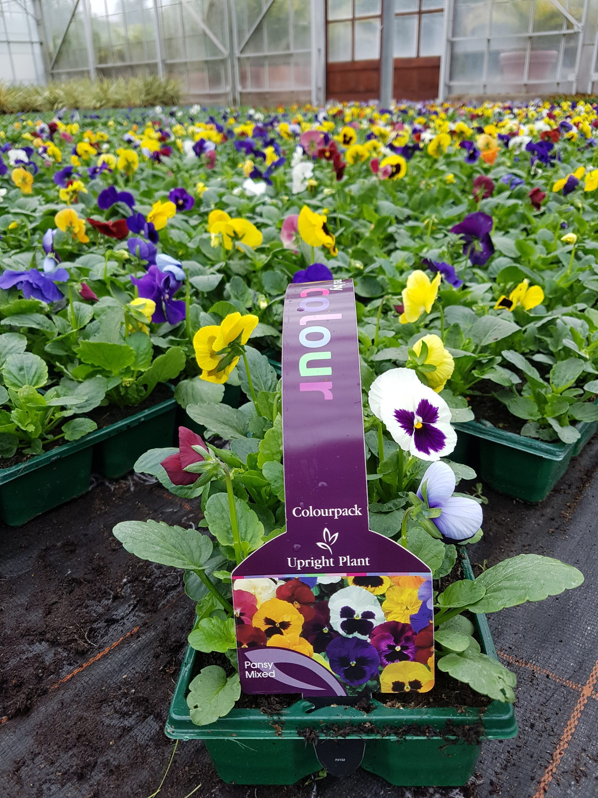 Mixed pansy bedding plants