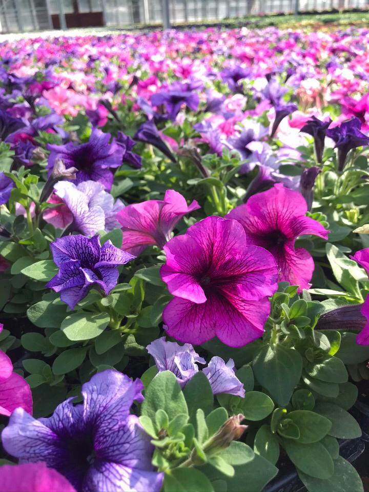 Petunia bedding plants