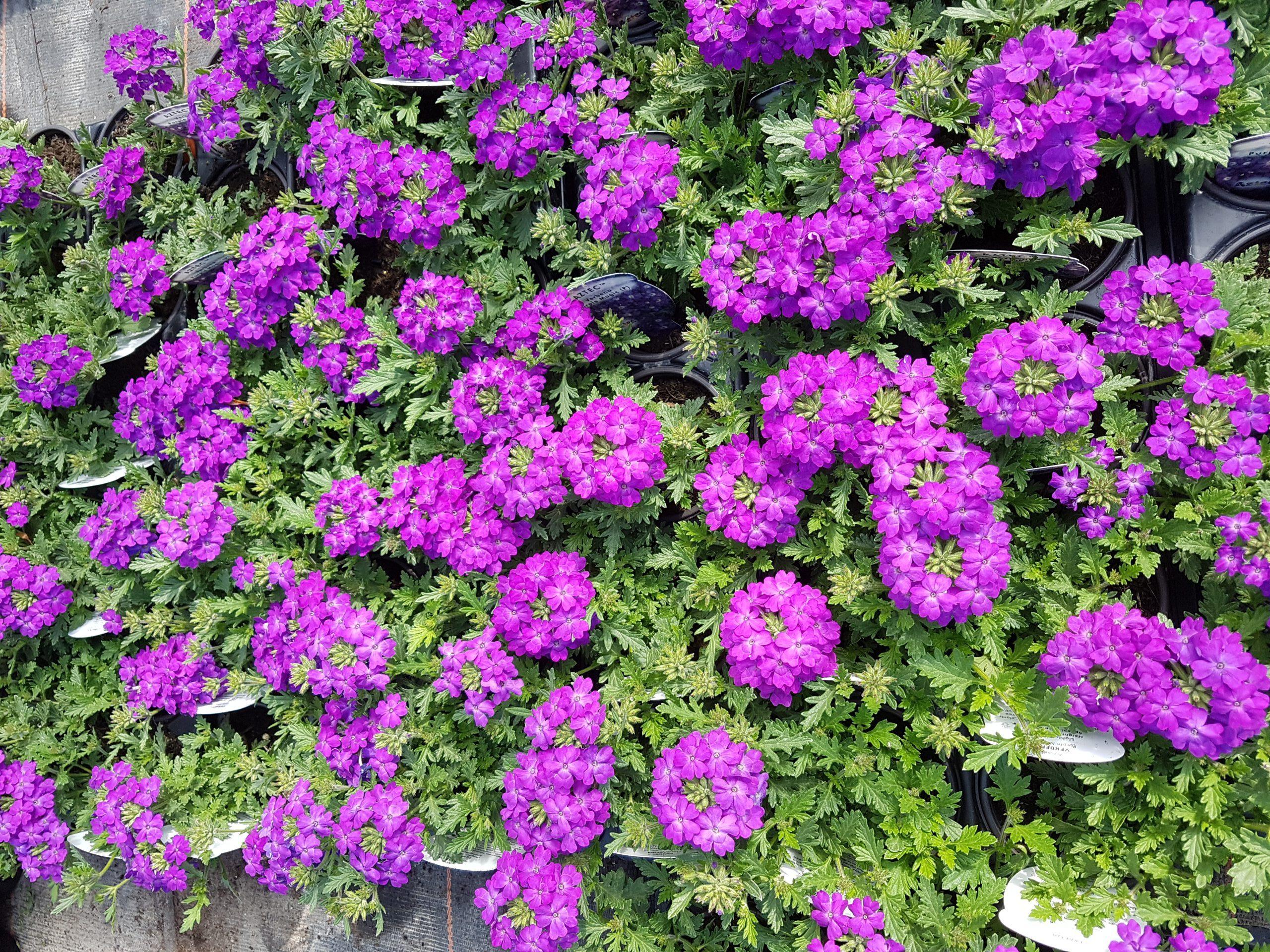 Verbena bedding plants